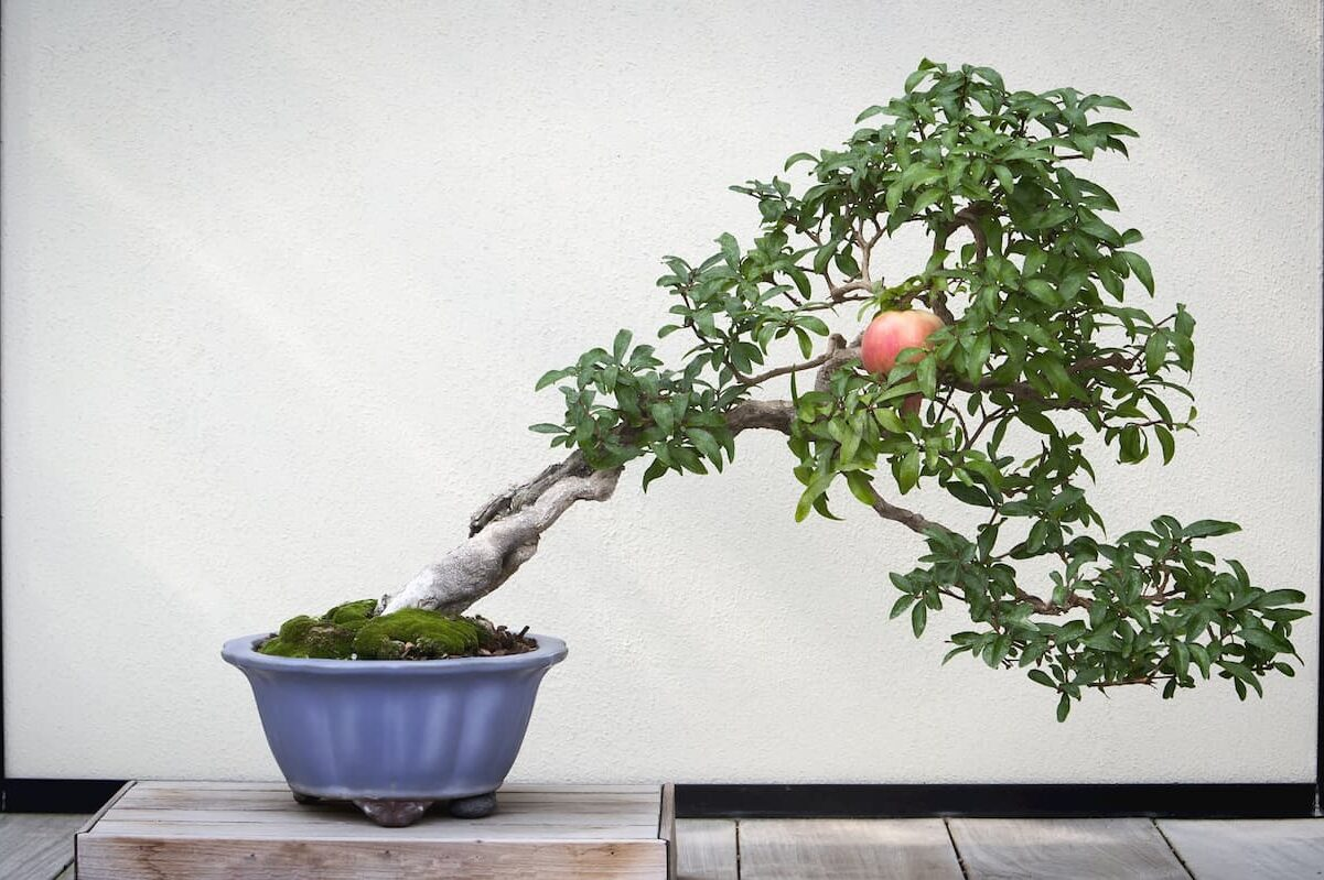 Bonsai Trees Niche